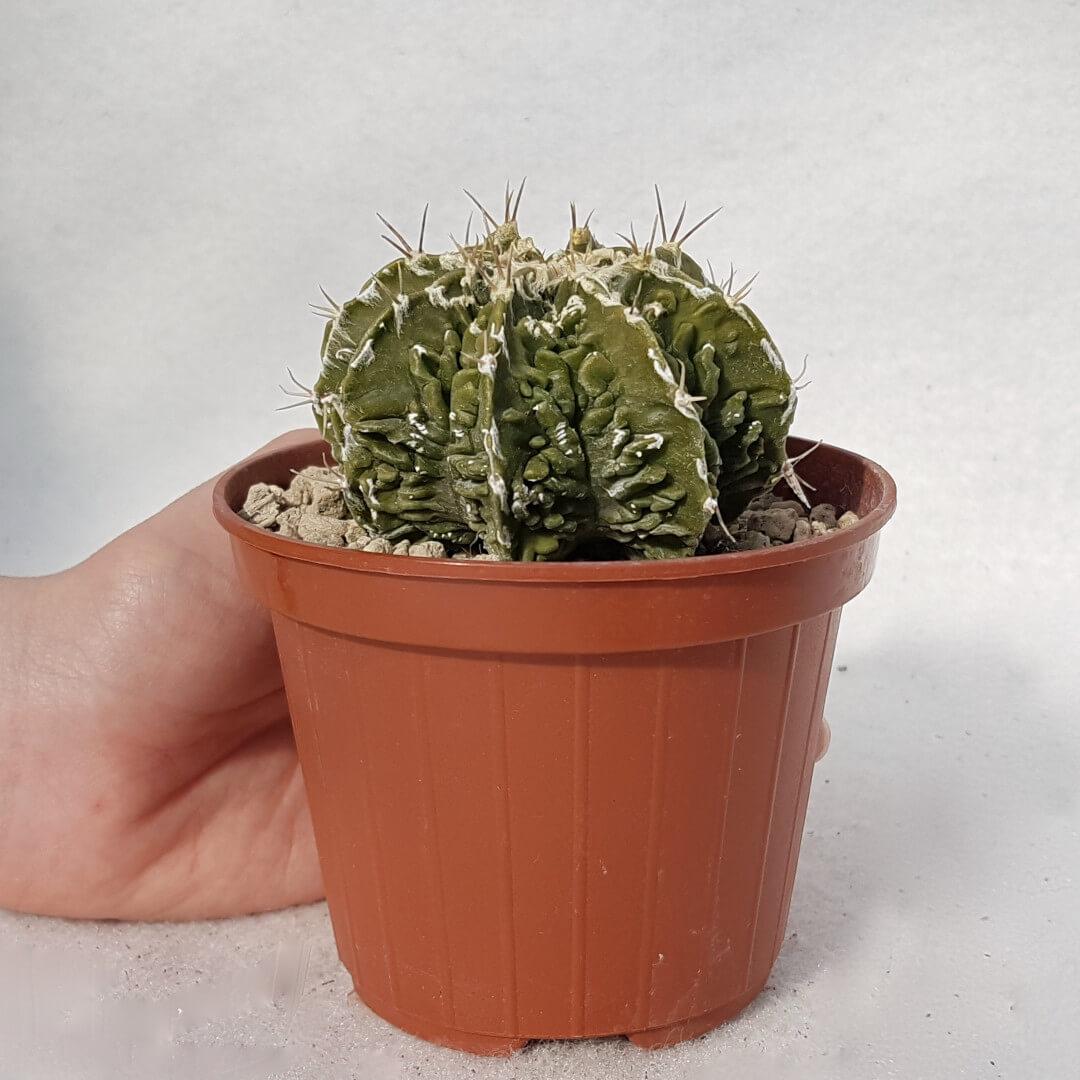 Astrophytum ornatum hannya hybrid n° 115B