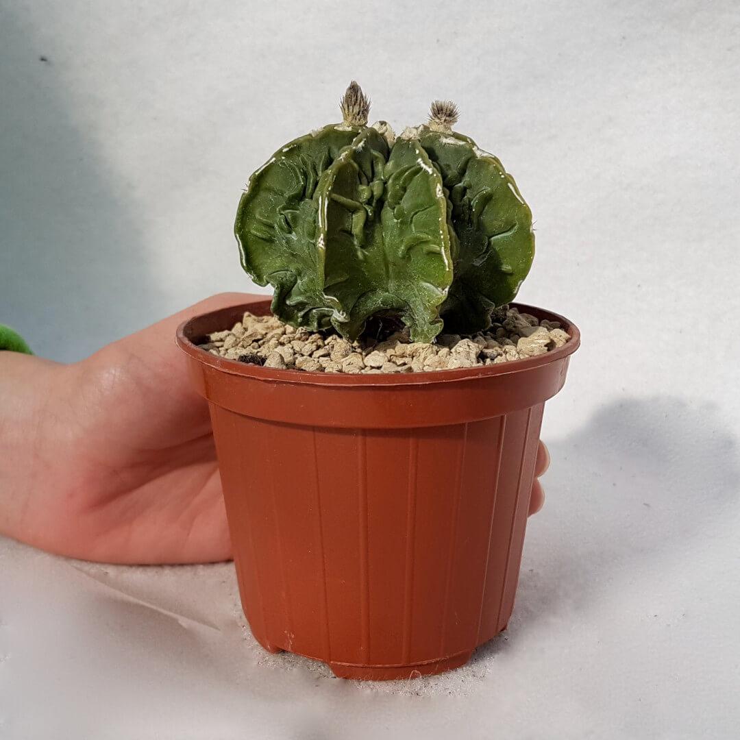 Astrophytum ornatum hannya hybrid n° 118B