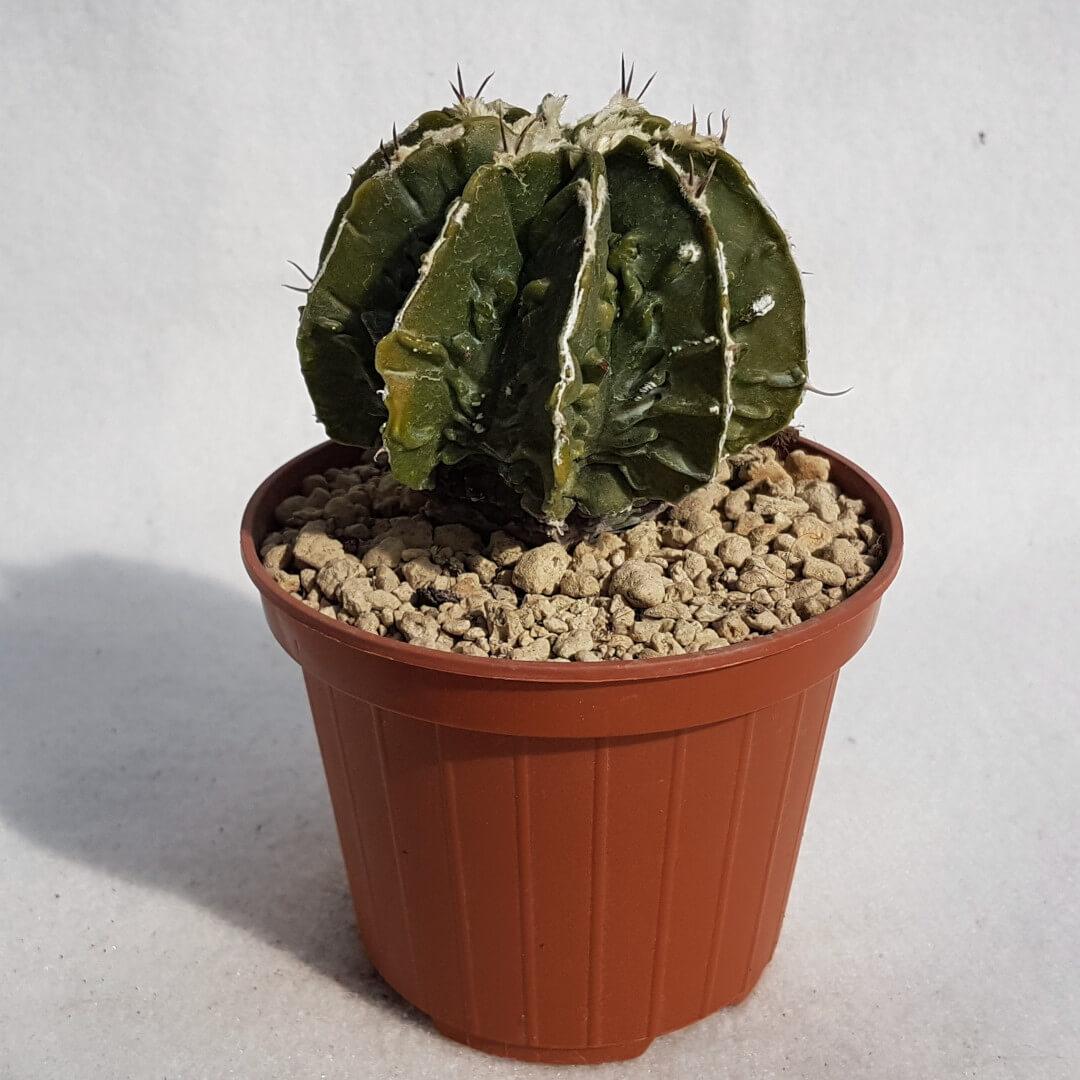Astrophytum ornatum hannya hybrid n° 128B
