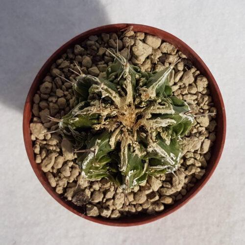 Astrophytum ornatum hannya hybrid n° 132B