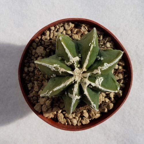 Astrophytum ornatum hannya hybrid n° 135B