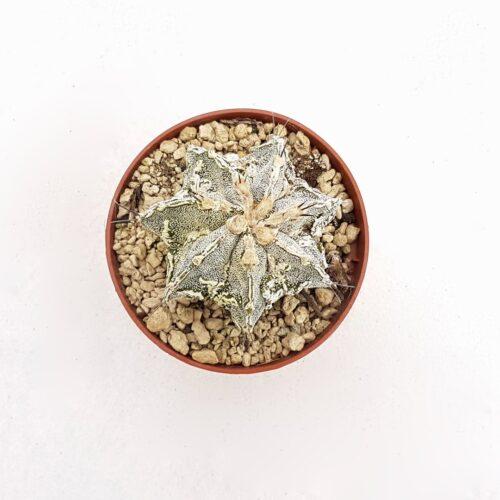 Astrophytum ornatum hannya hybrid 86B