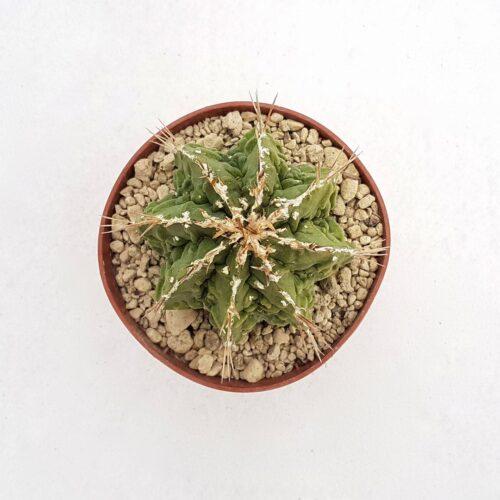 Astrophytum ornatum hannya hybrid 87B