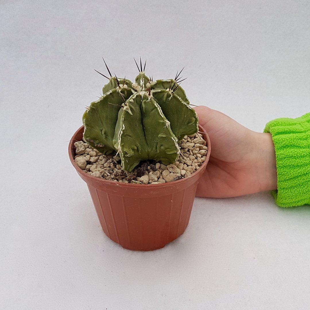 Astrophytum ornatum hannya hybrid 99B