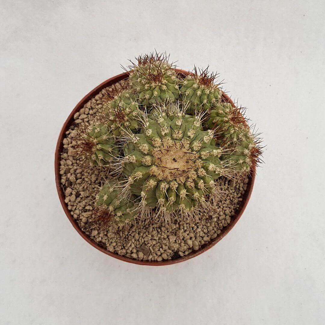 Copiapoa montana 24D