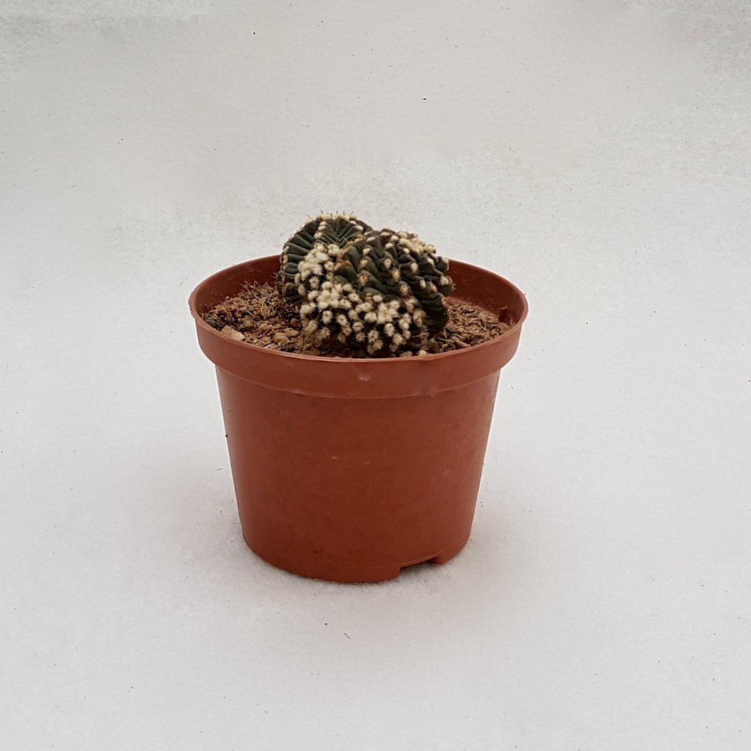 Echinocereus cv. Josephine 28D
