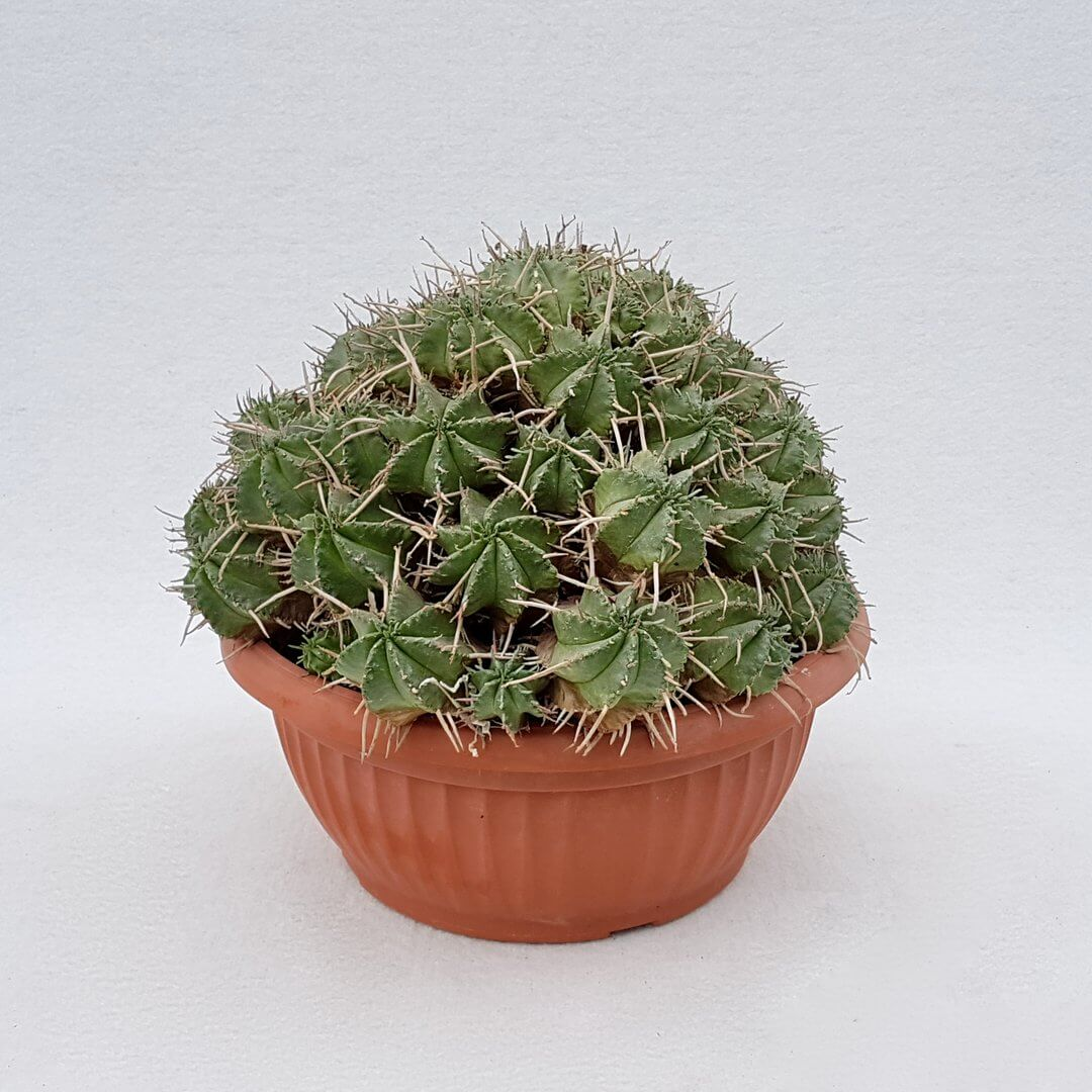 Euphorbia aggregata 11D