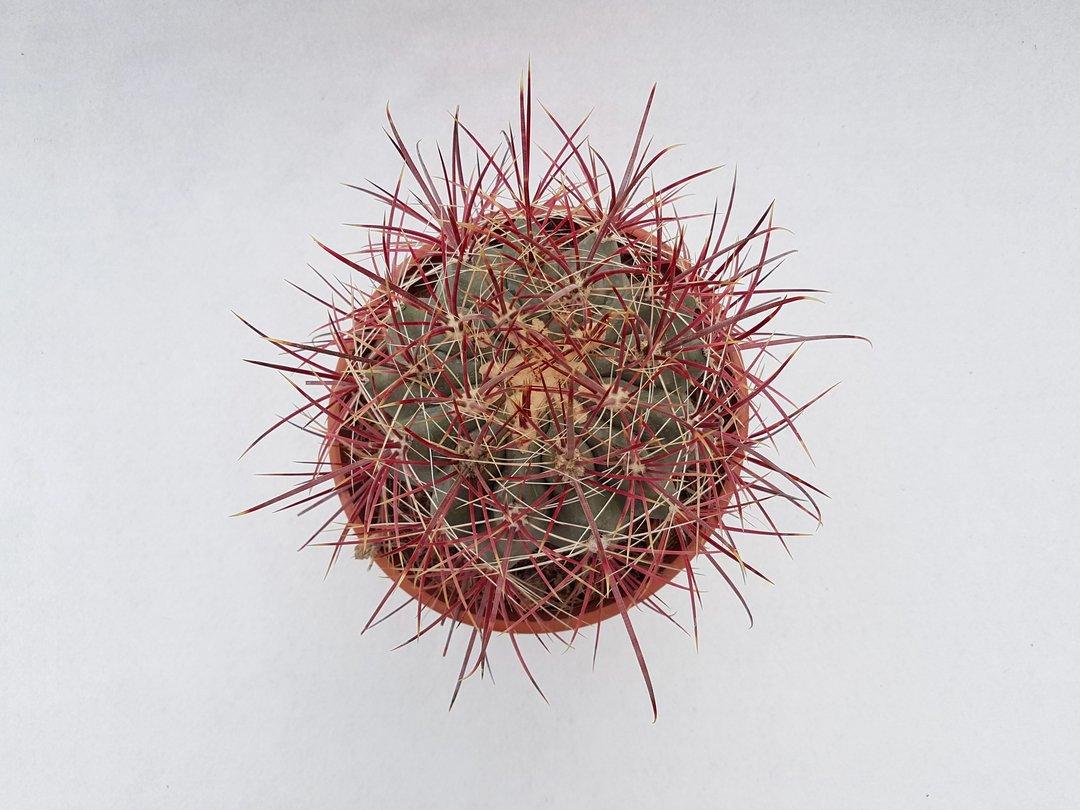 Ferocactus gracilis hybrid 45D
