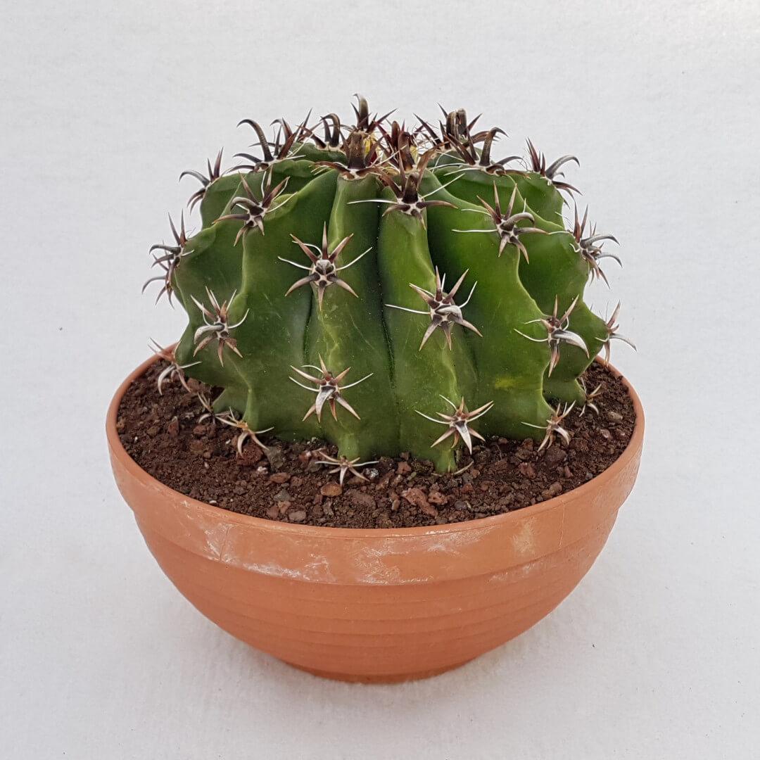 Ferocactus horridus brevispinus variegato 50D