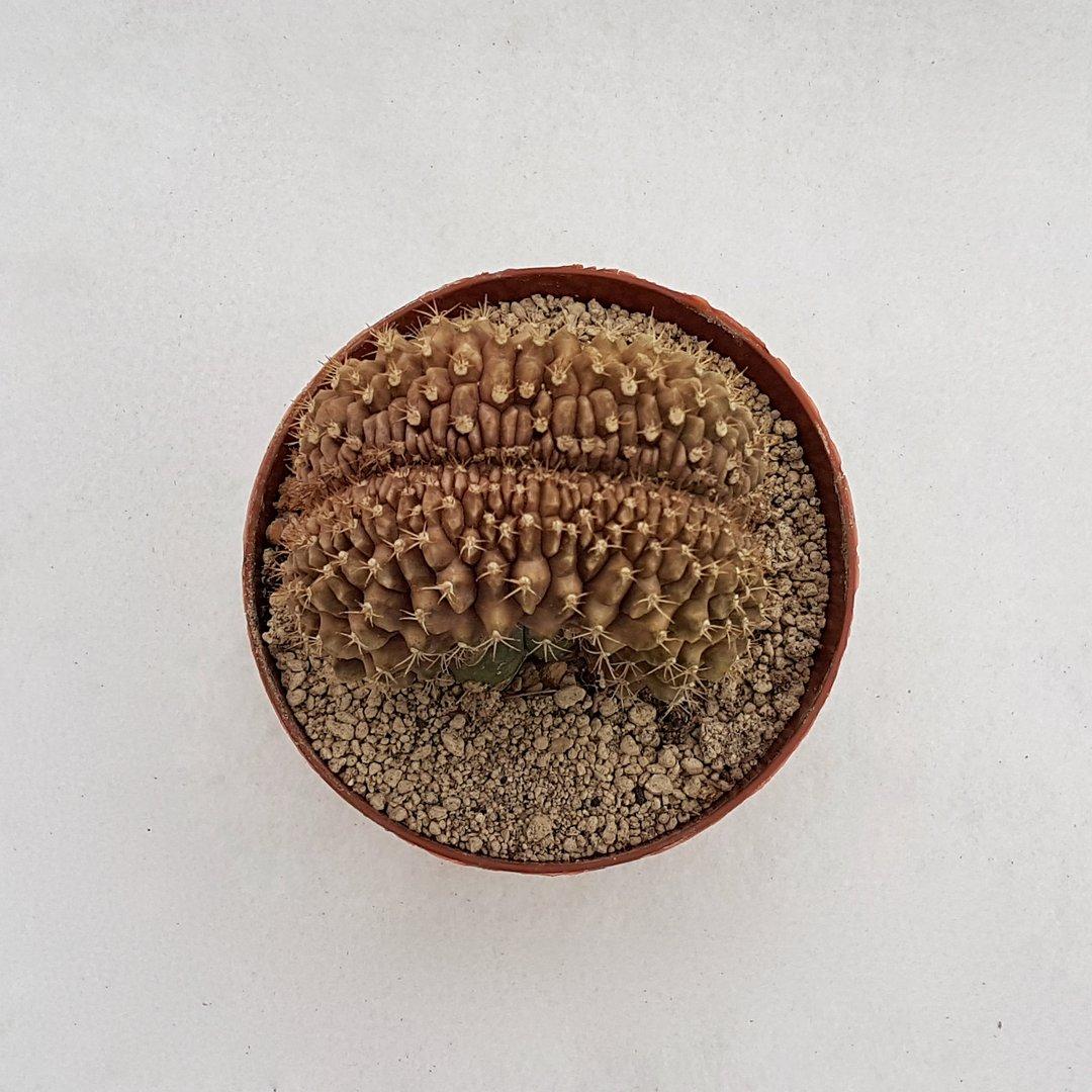 Gymnocalycium mihanovichii crestato 25D