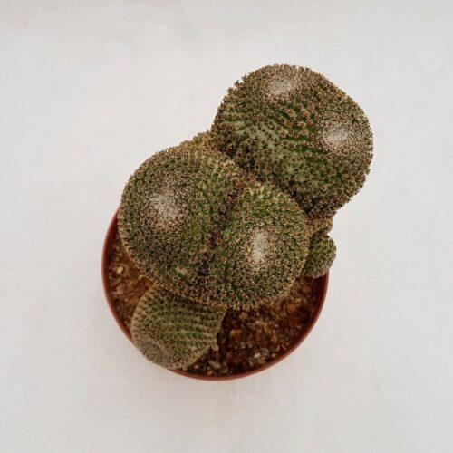 Mammillaria crucigera 30D