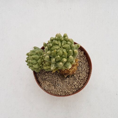 Mammillaria longimamma mostruosa 34D