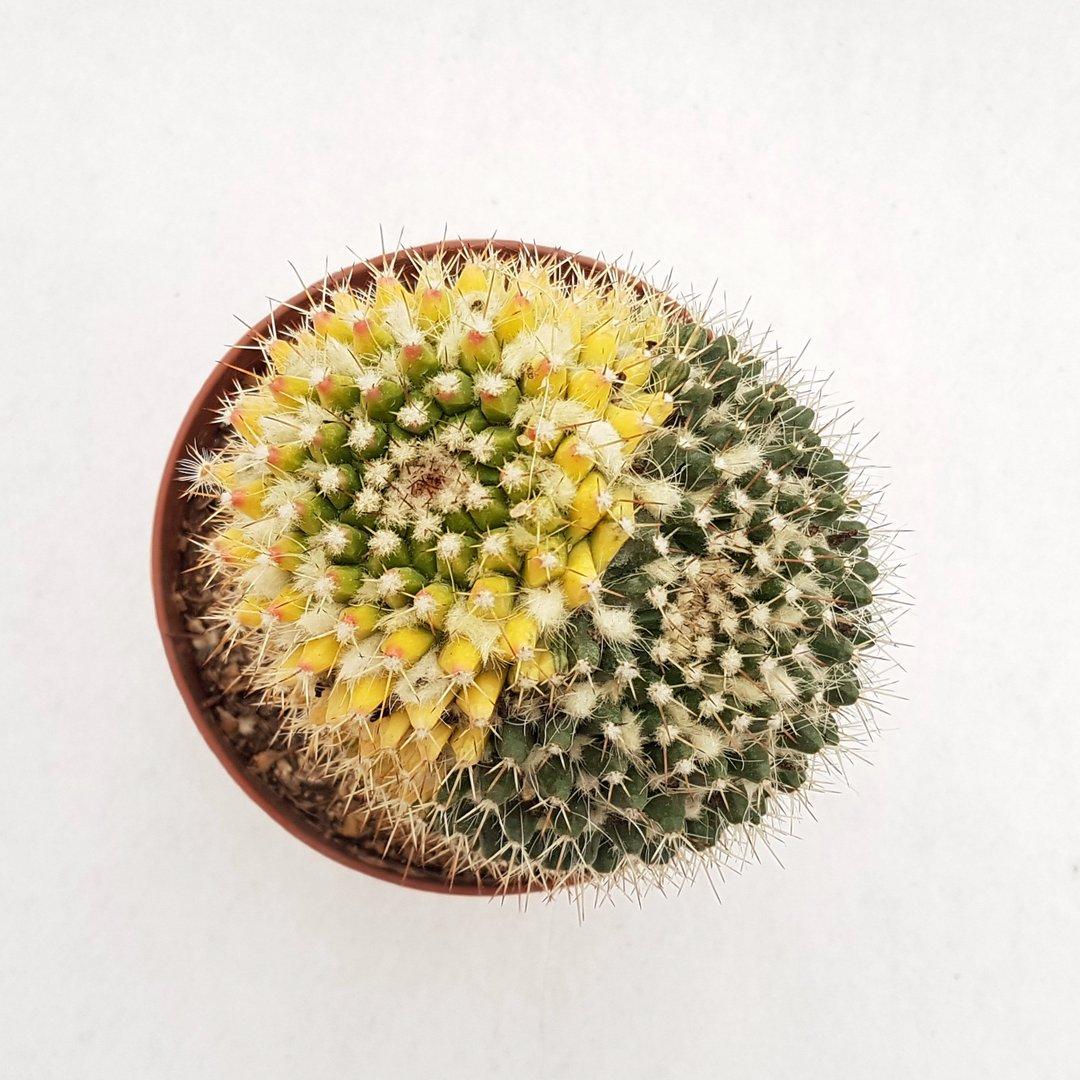 Mammillaria nejapensis variegata 27D