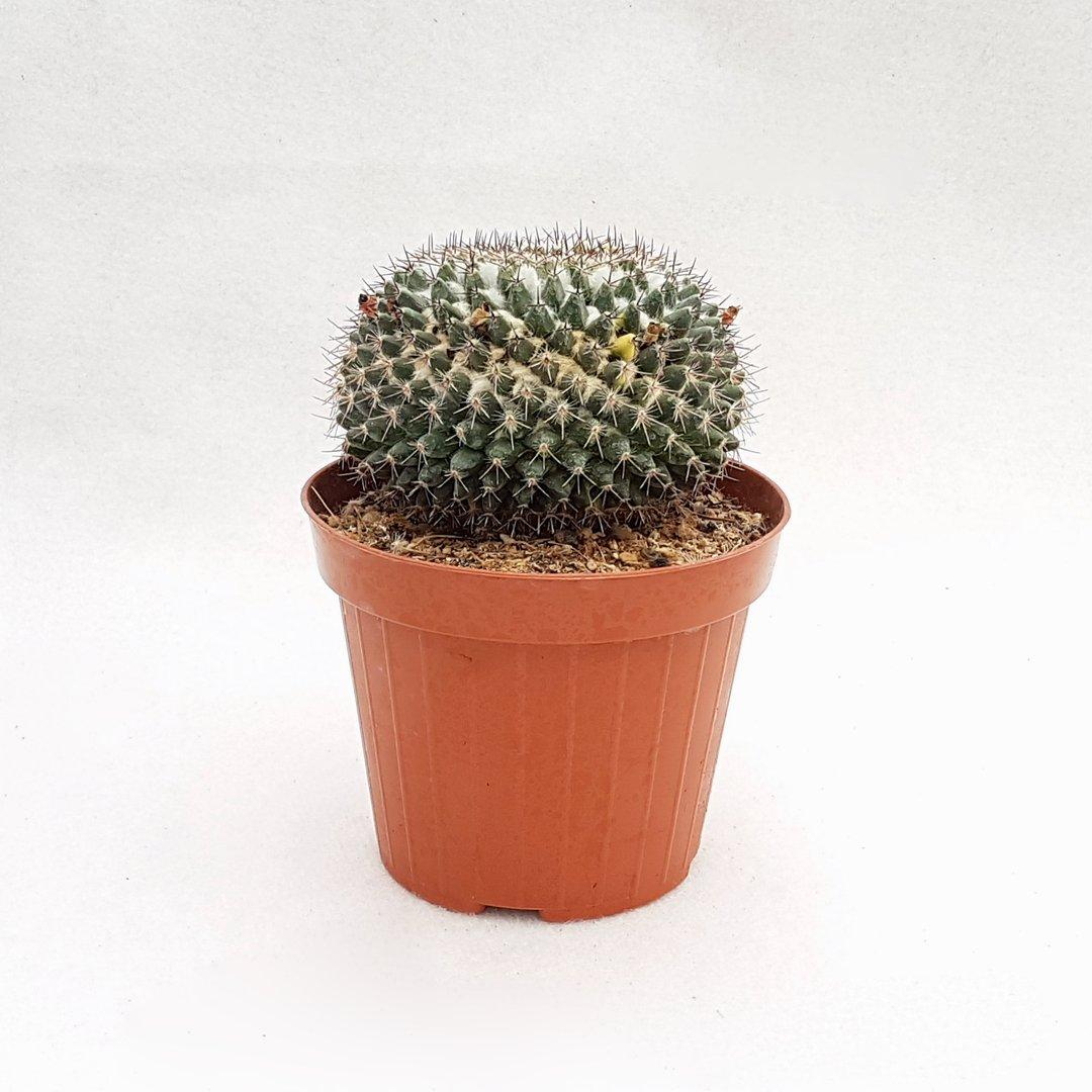 Mammillaria sp. variegata 26D