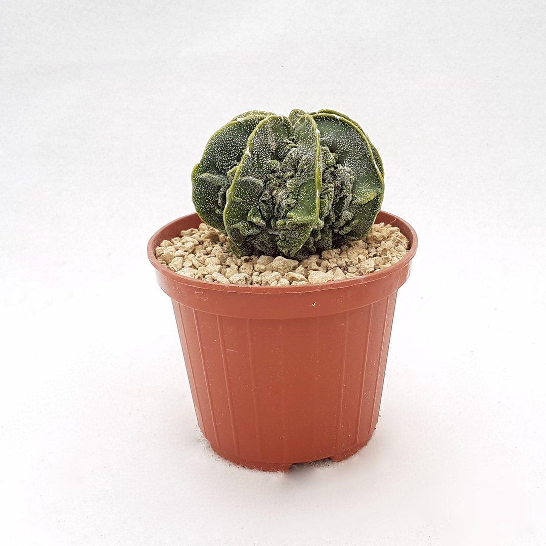 Astrophytum myriostigma fukuryu 105B