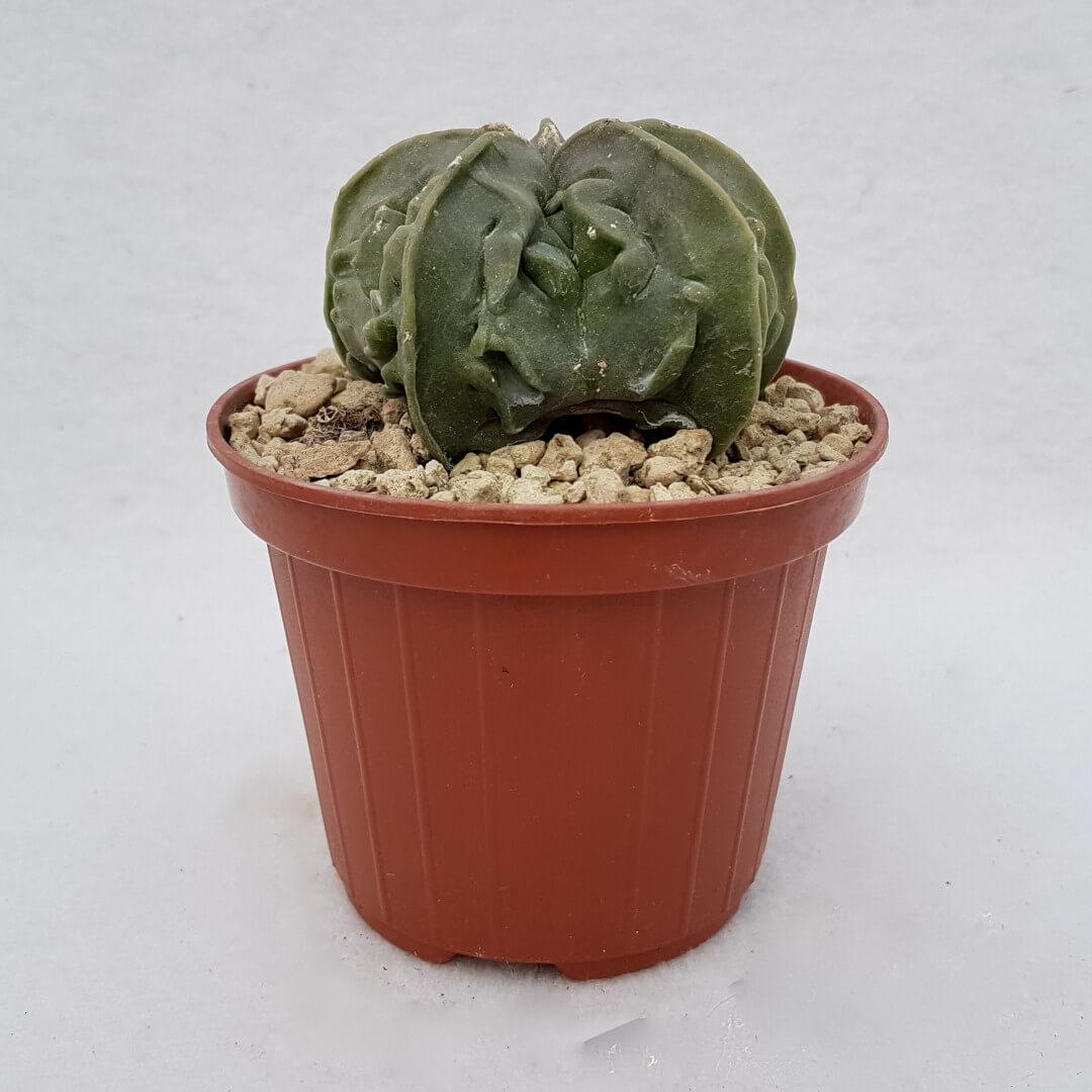 Astrophytum myriostigma fukuryu n° 117B