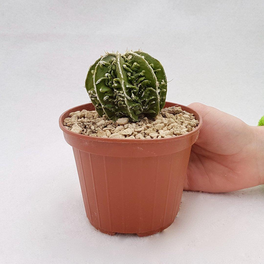 Astrophytum myriostigma hanakago 109B