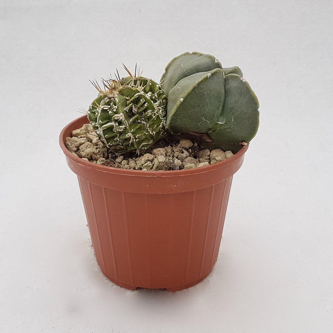 Astrophytum myriostigma nudum hanakago 106B