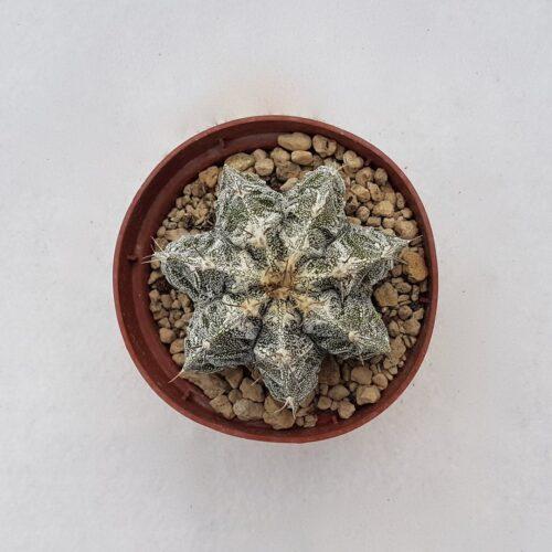 Astrophytum ornatum hannya hybrid 107B