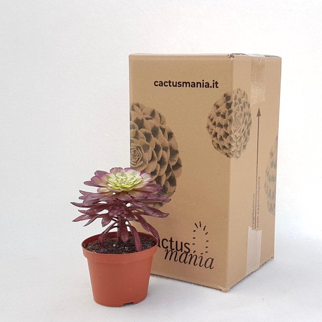 Aeonium arboreum hyb. 'Mardi Gras' vaso Ø 10,5