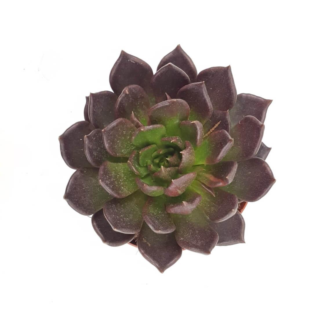 Echeveria Black Prince vaso Ø 17