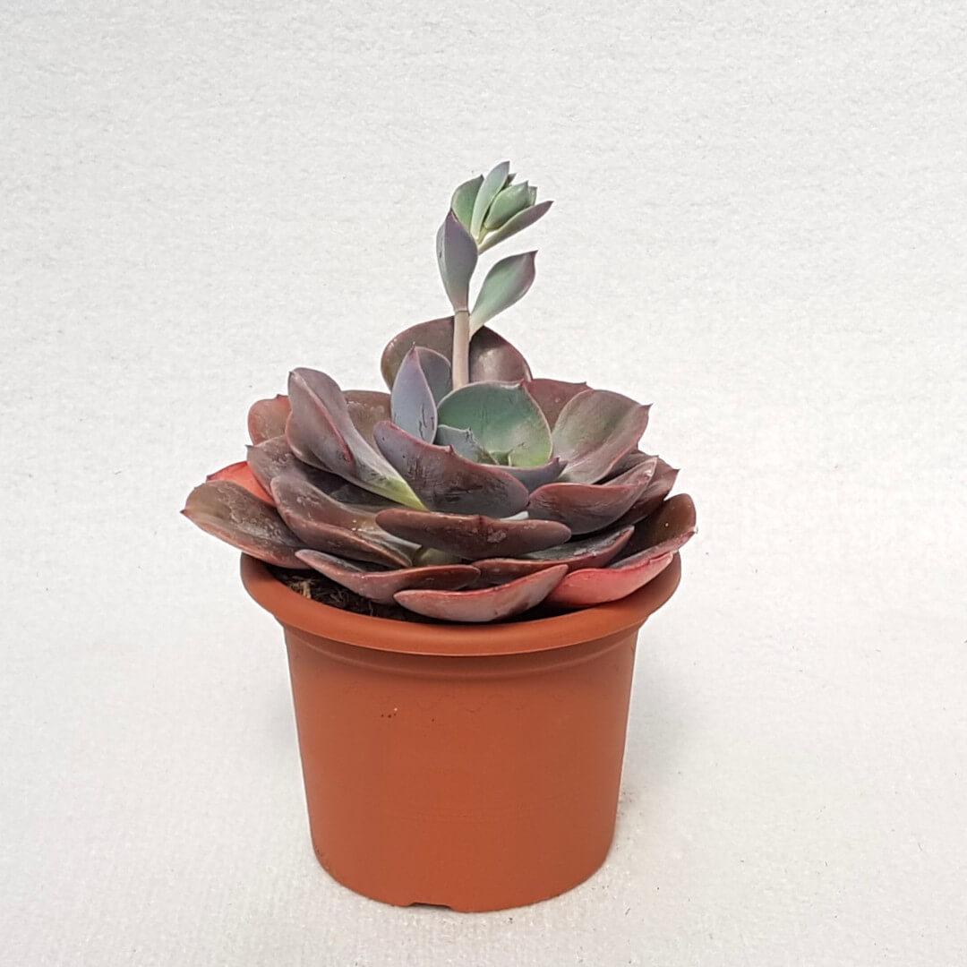 Echeveria Dusty Rose vaso Ø 13