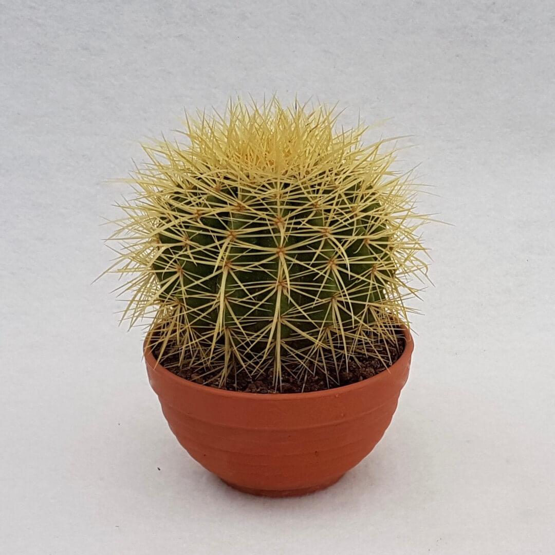 Echinocactus grusonii vaso Ø 13