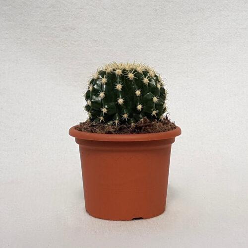 Echinocactus grusonii intermedius uncinatus vaso Ø 13