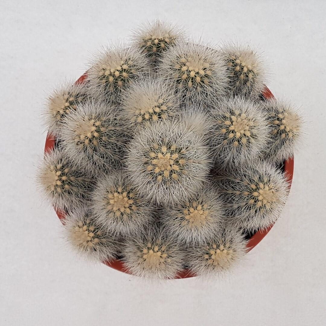 Echinocereus nivosus vaso Ø 17