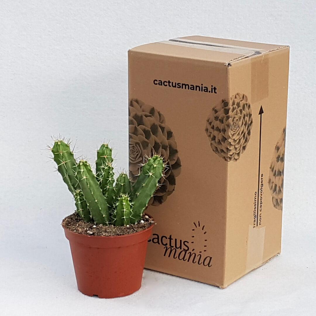 Echinocereus pentalophus vaso Ø 13
