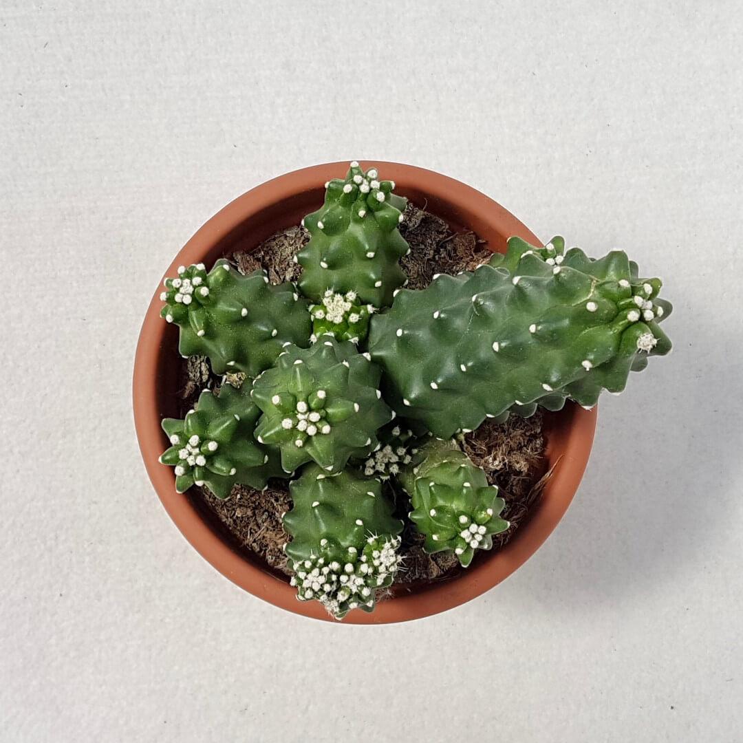 Echinocereus triglochidiatus v. inermis vaso Ø 13