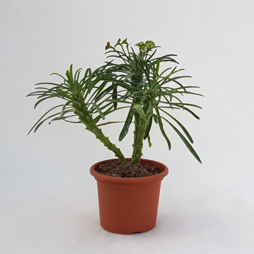Euphorbia bubalina vaso Ø 13