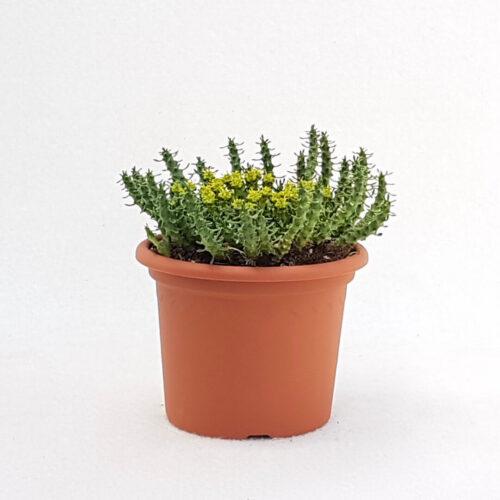 Euphorbia gorgonis vaso Ø 13