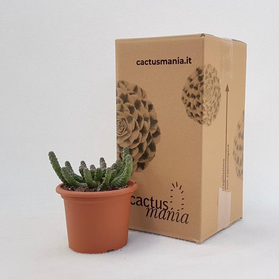 Euphorbia inermis vaso Ø 13