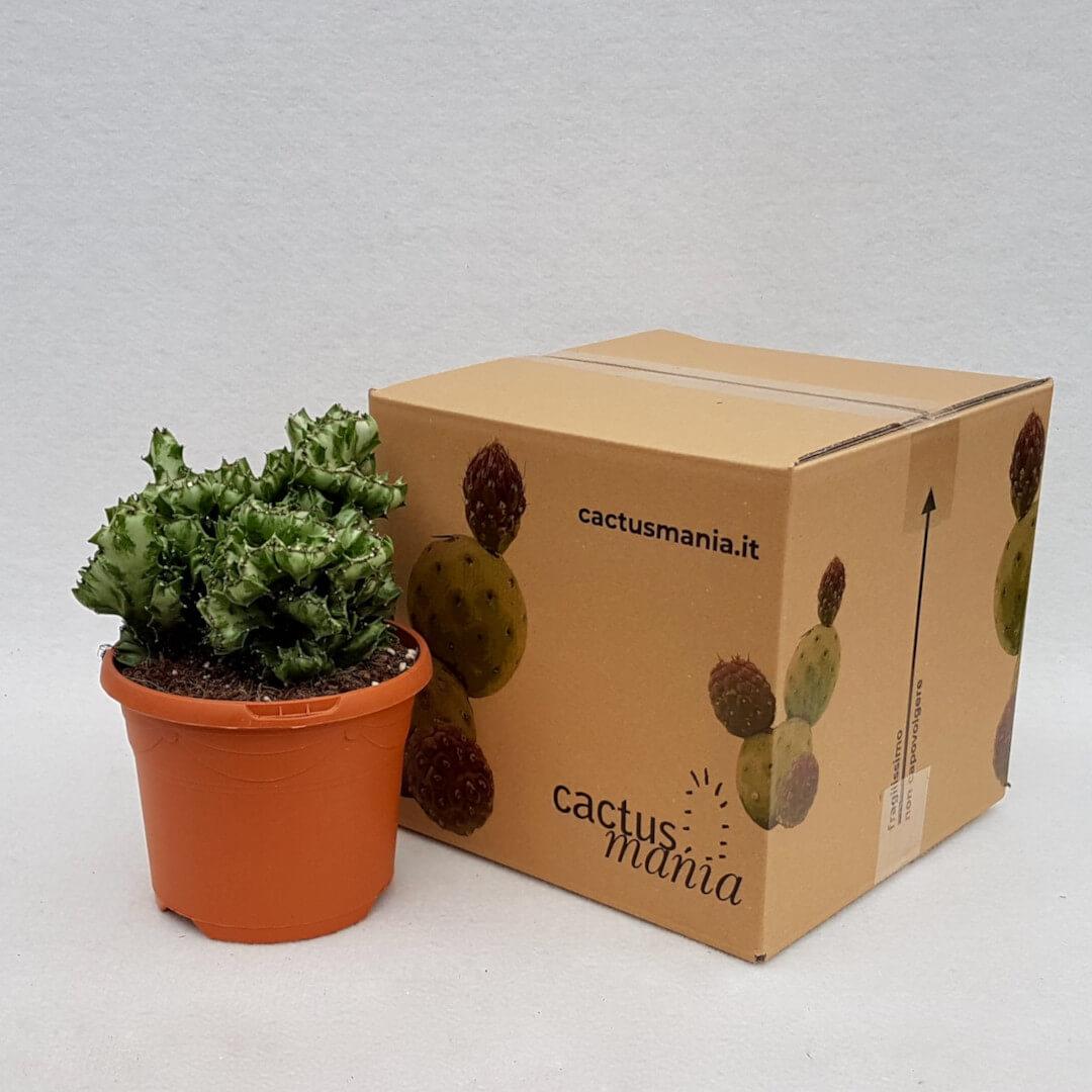 Euphorbia lactea crestata vaso Ø 17