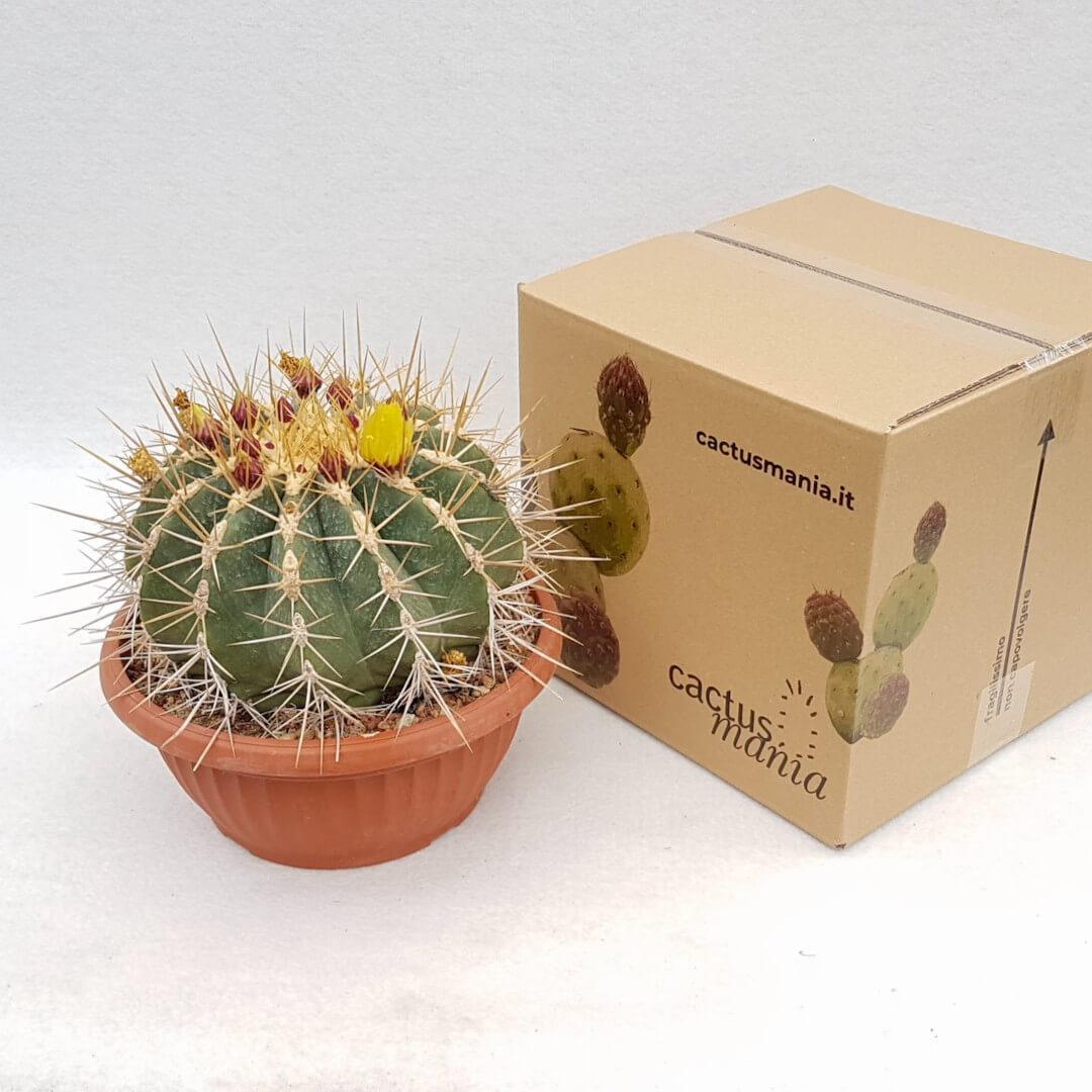 Ferocactus glaucescens vaso Ø 25