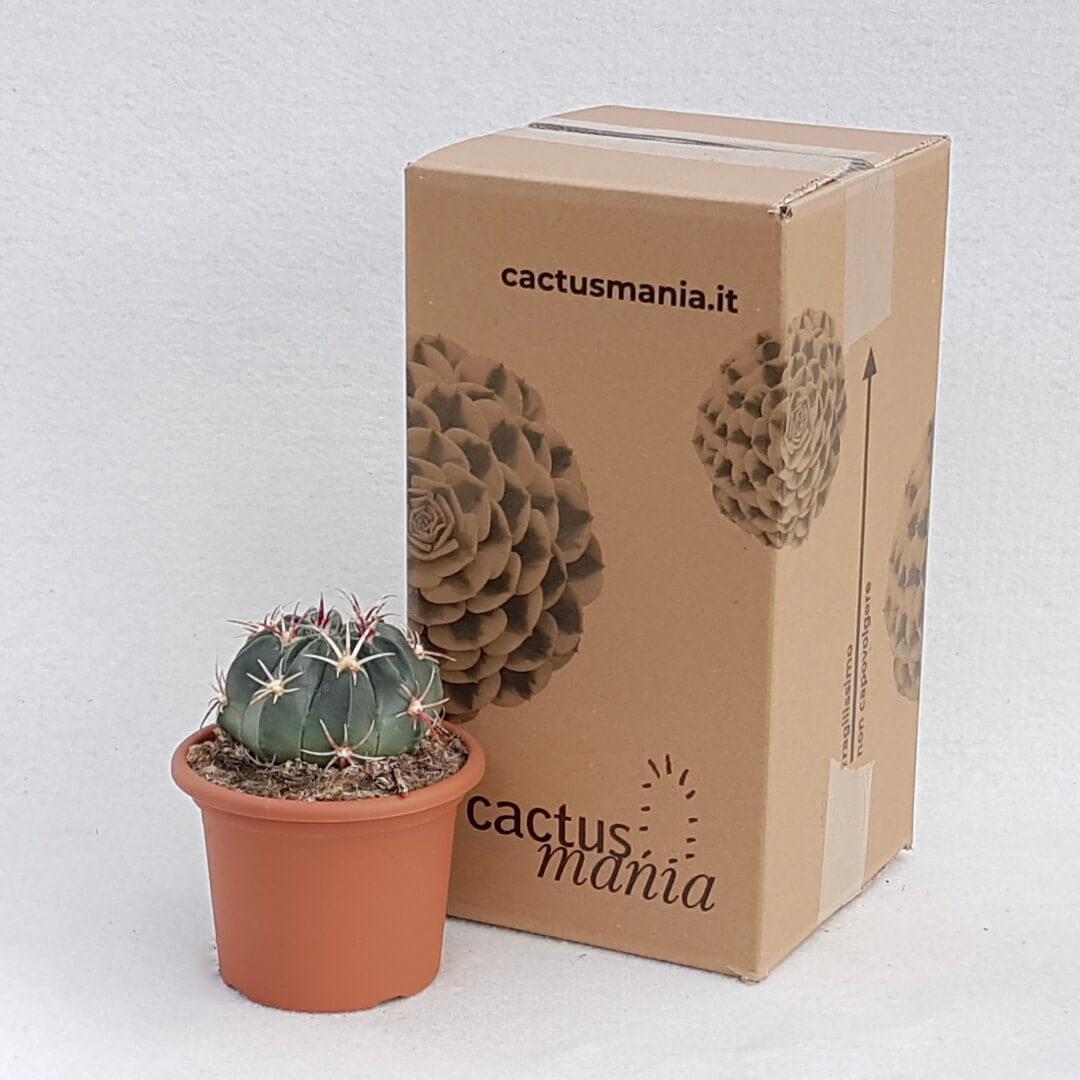 Ferocactus macrodiscus vaso Ø 13