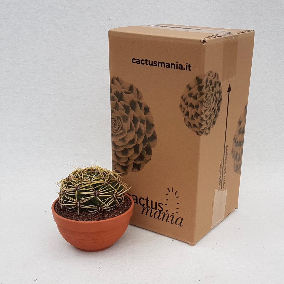 Gymnocalycium monvillei vaso Ø 13