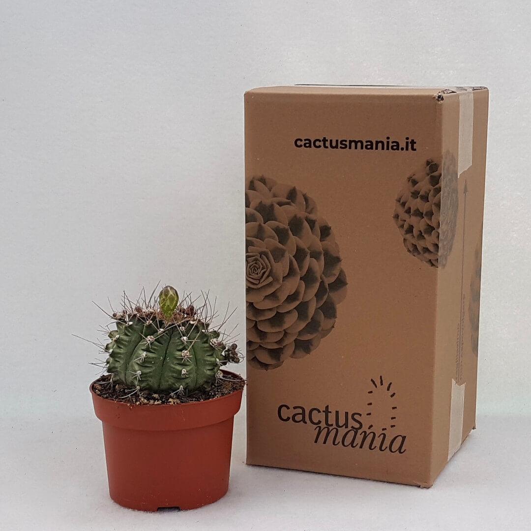 Gymnocalycium pungens vaso Ø 13