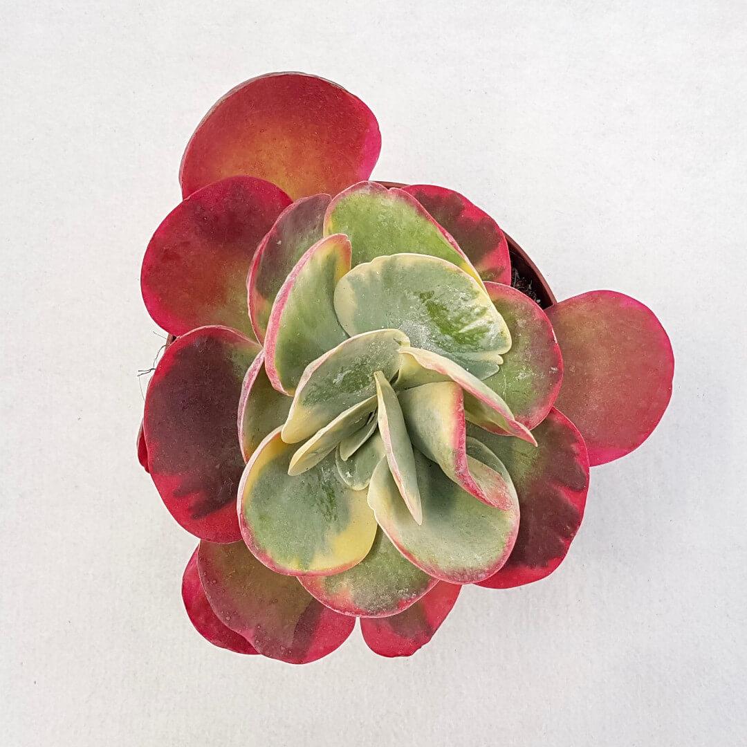 Kalanchoe thyrsifolia variegata vaso 13