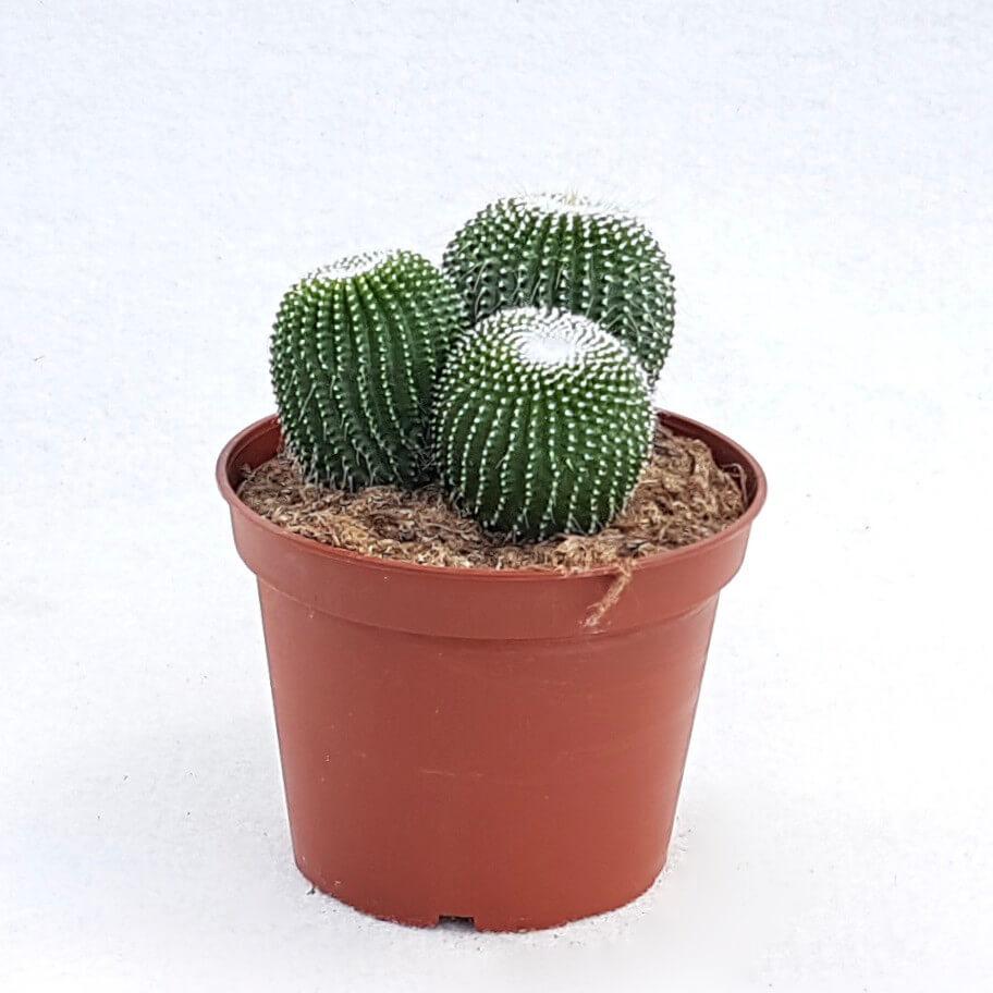 Notocactus leninghausii inermis vaso Ø 13