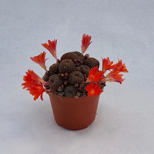 Rebutia heliosa var. condorensis cv. rubrispina vaso Ø 10