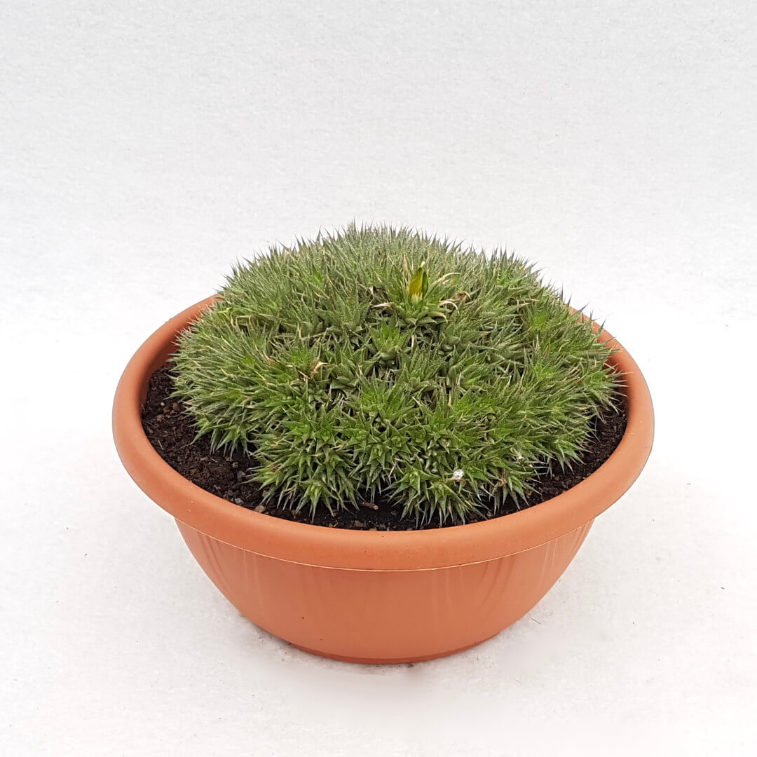 Abromeitiella chlorantha vaso Ø 20