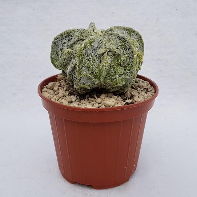 Astrophytum myriostigma fukuryu n° 100B