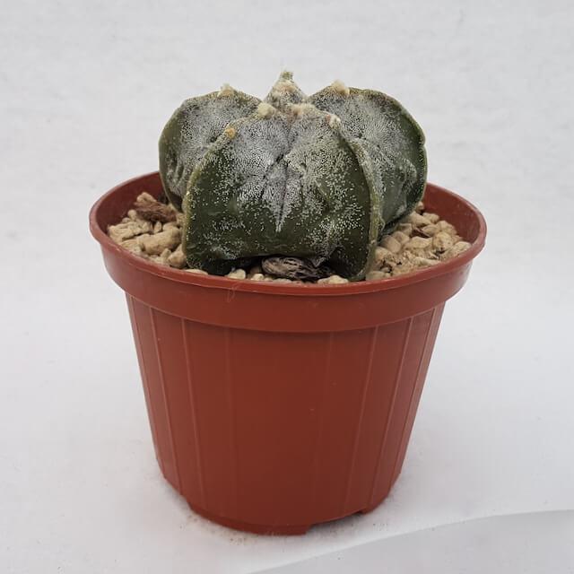 Astrophytum myriostigma fukuryu nudum vaso Ø 10,5 (cod. 95B)