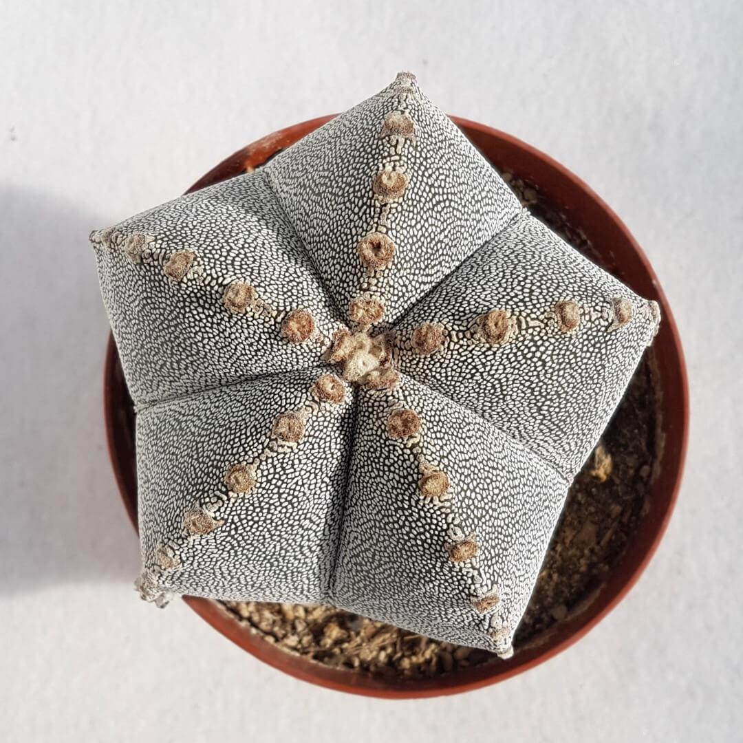 Astrophytum myriostigma onzuka vaso Ø12 - 09E