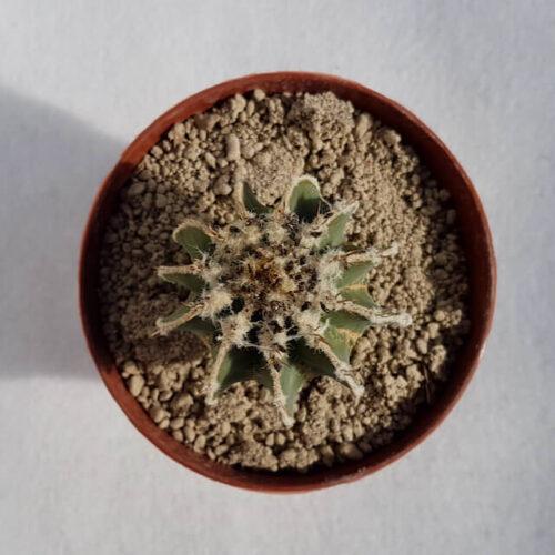 Aztekium hintonii vaso 14 11E