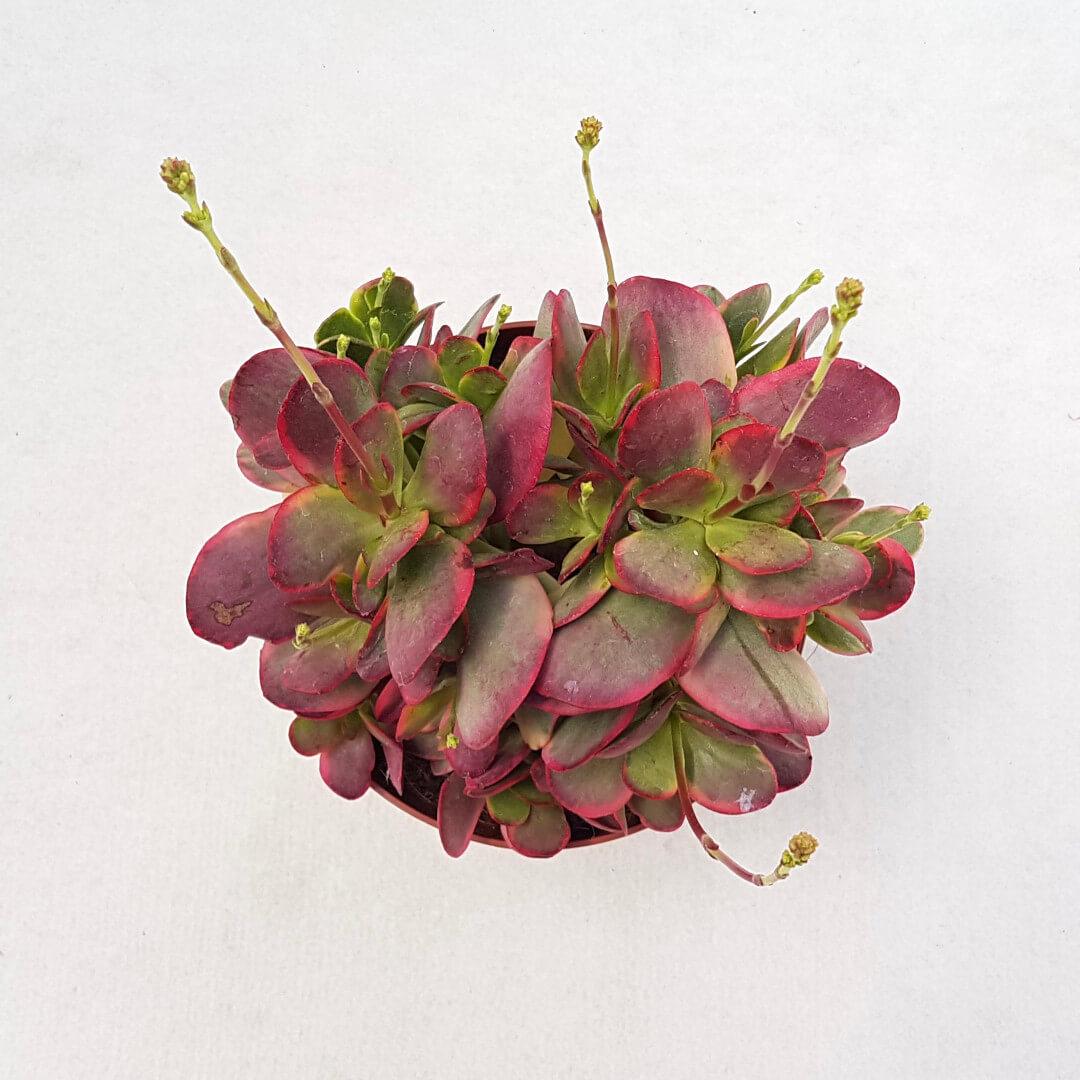 Crassula cultrata variegata vaso Ø 13