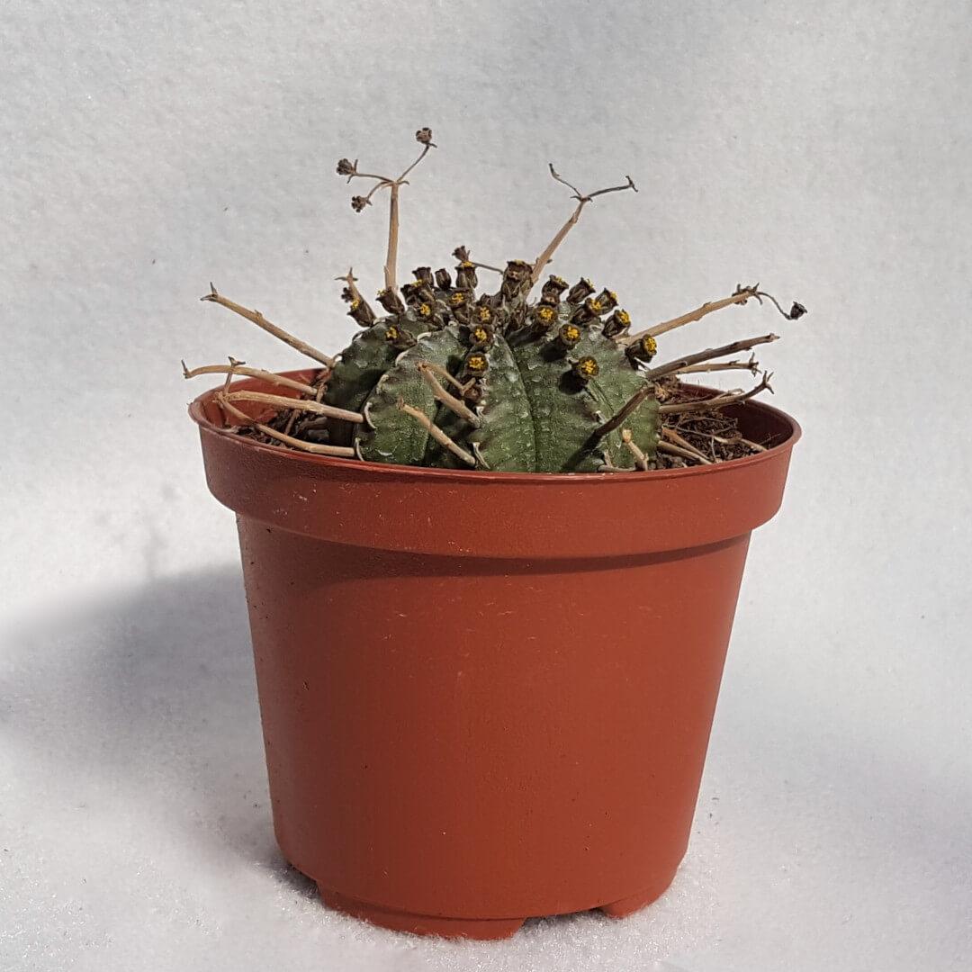 Euphorbia valida vaso Ø 10,5 - 05E