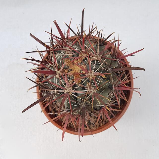Ferocactus gracilis hybrid 49D vaso Ø17